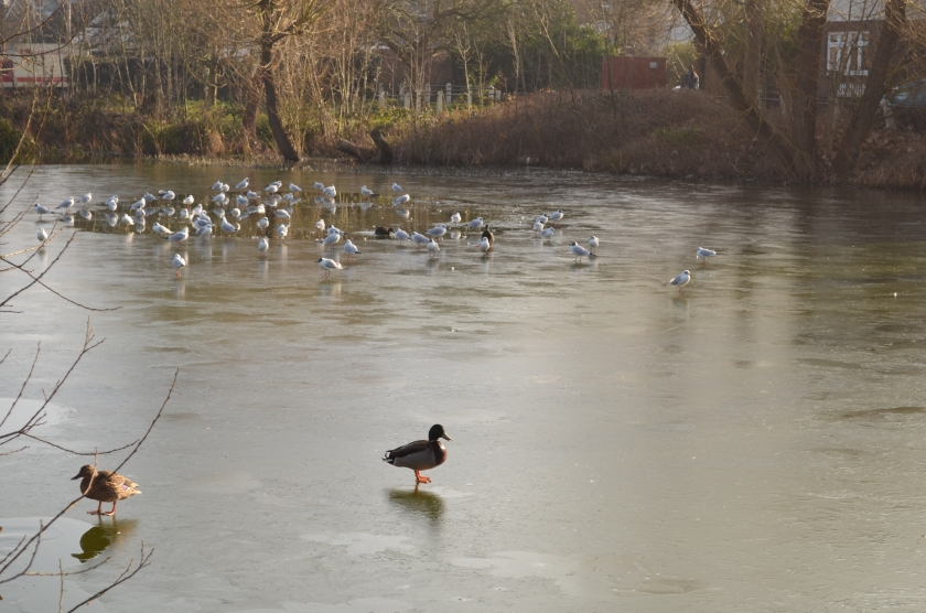 You can see the gulls in the distance, paddling around in an unfrozen part of the pond, whilst the Mallards waddled and slipped their way across the frozen parts