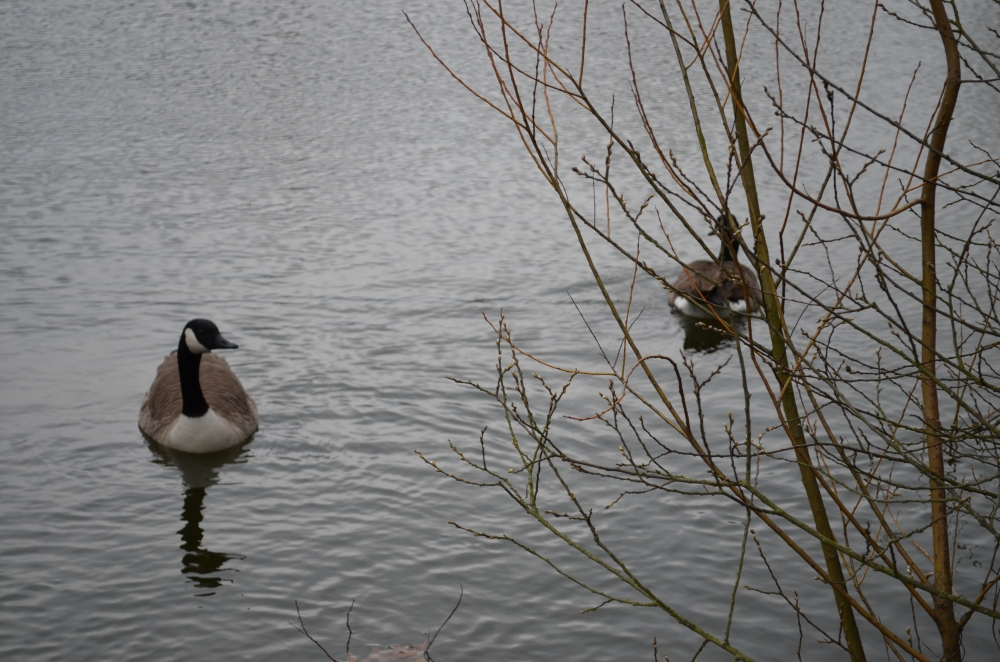 Our resident pair of geese