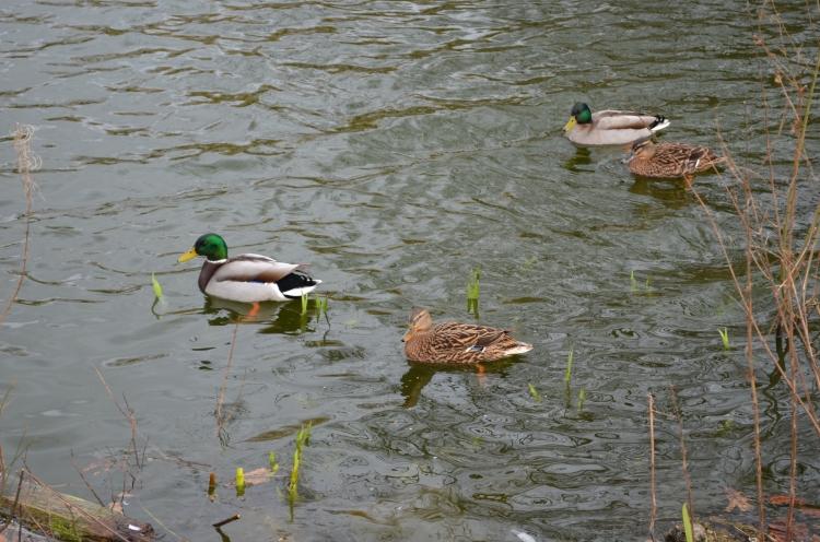 Mallard ducks: business as usual for them!