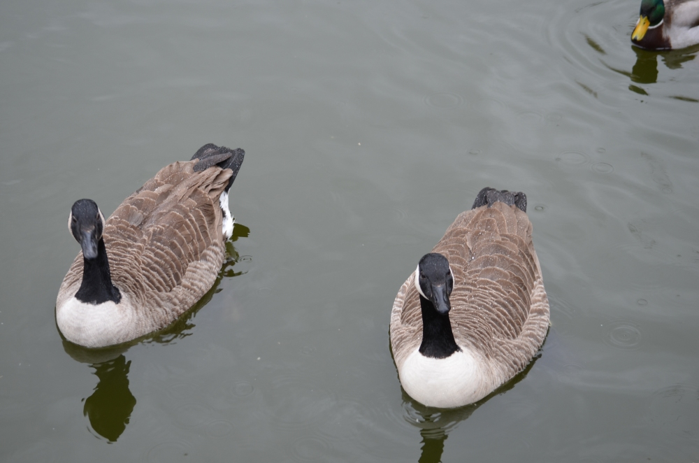 And for the first time this year a pair of Canada Geese