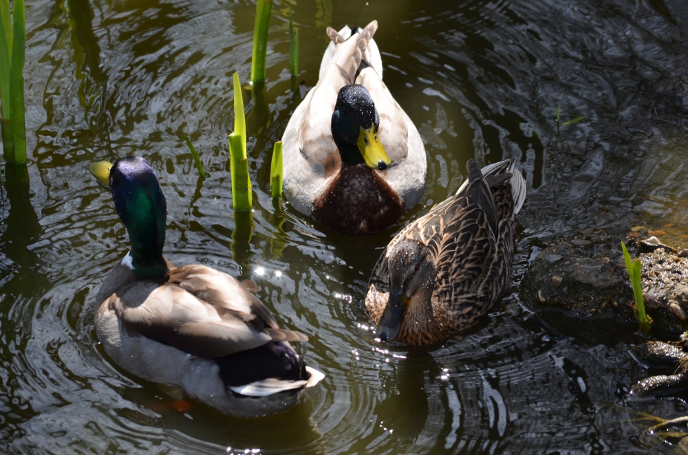Our old friends the mallards