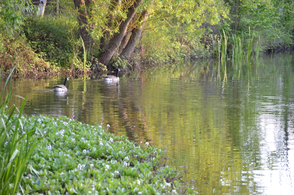 A pair of geese honking constantly at each other whilst swimming leisurely around the pond