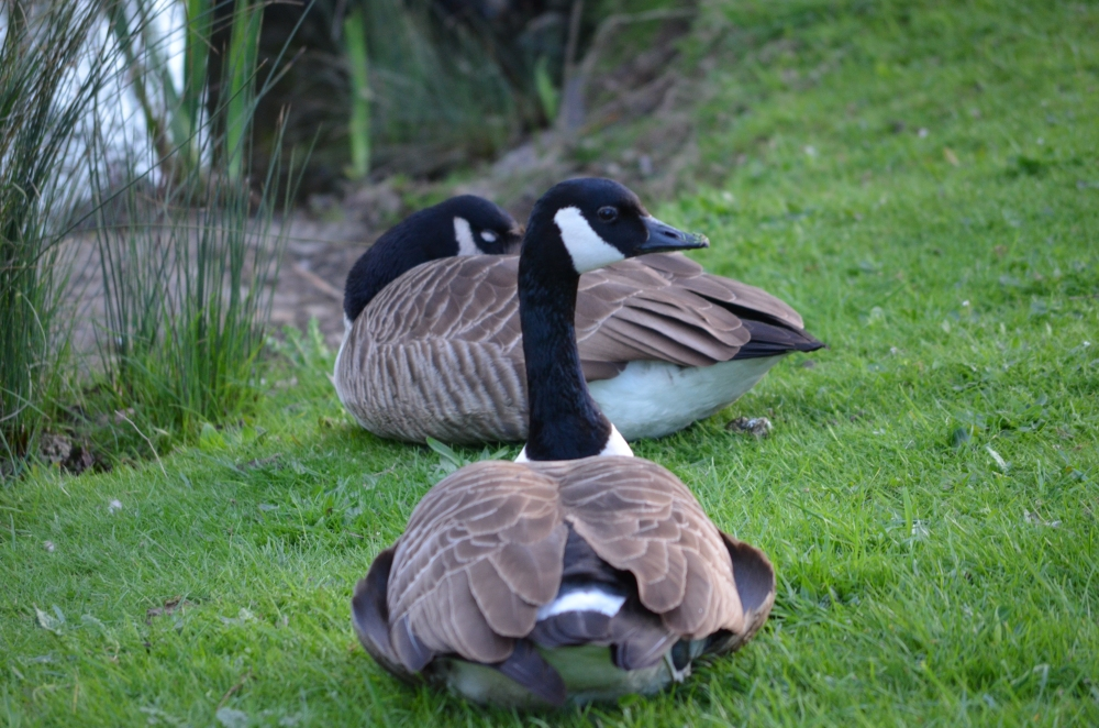 Whilst we were their we snapped some Canada geese