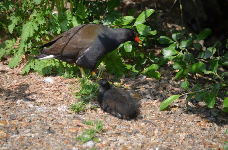 Mummy and chick