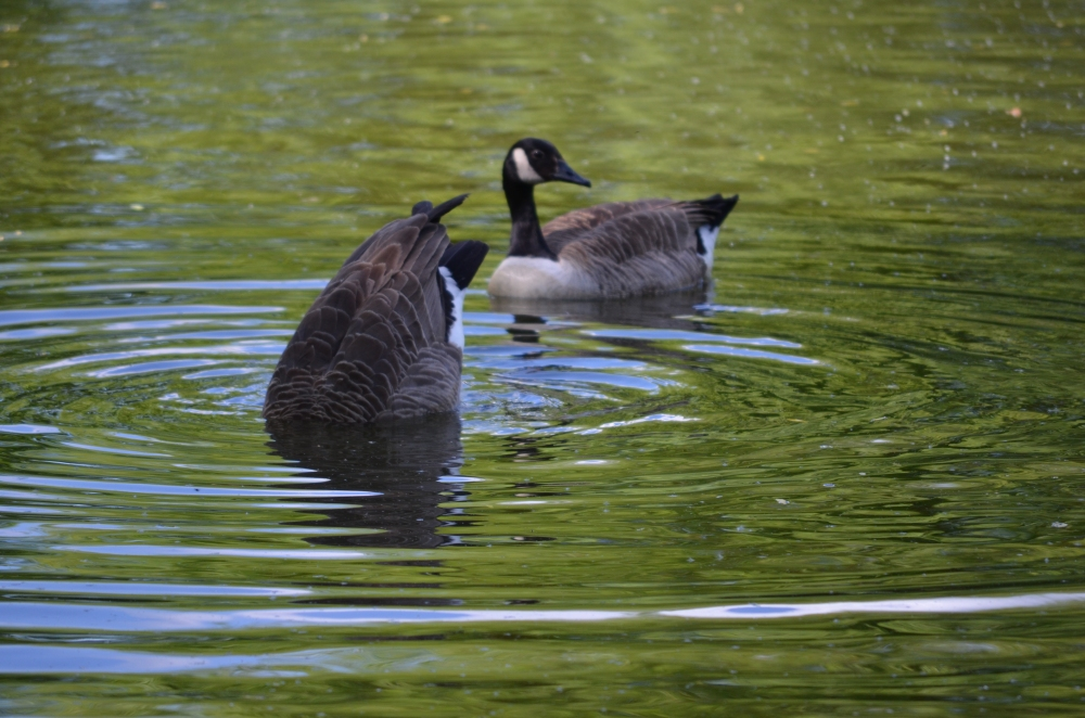 The Canada Geese were fishing