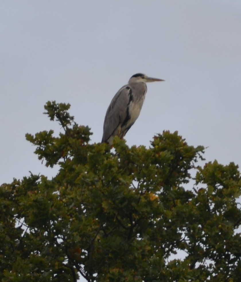 Our Heron!