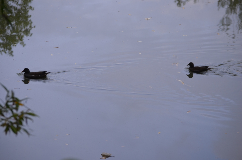 Two of the birds swimming to meet their brother or sister....