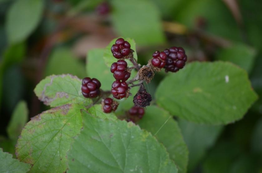 Berries slowly darkening, nearly ready to be picked