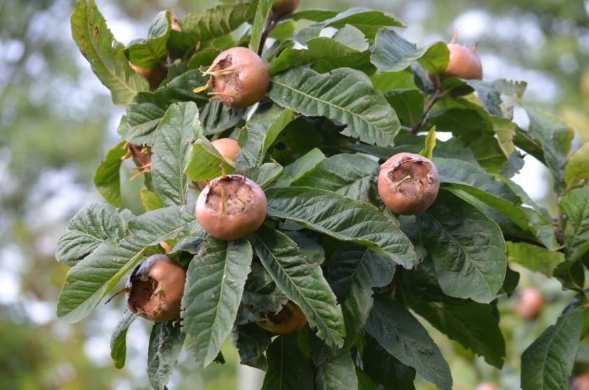The medlars ripe for picking