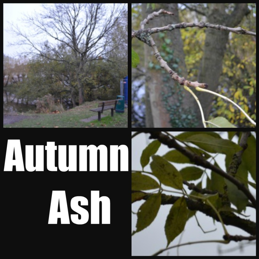 Ribbet collage Aut ash