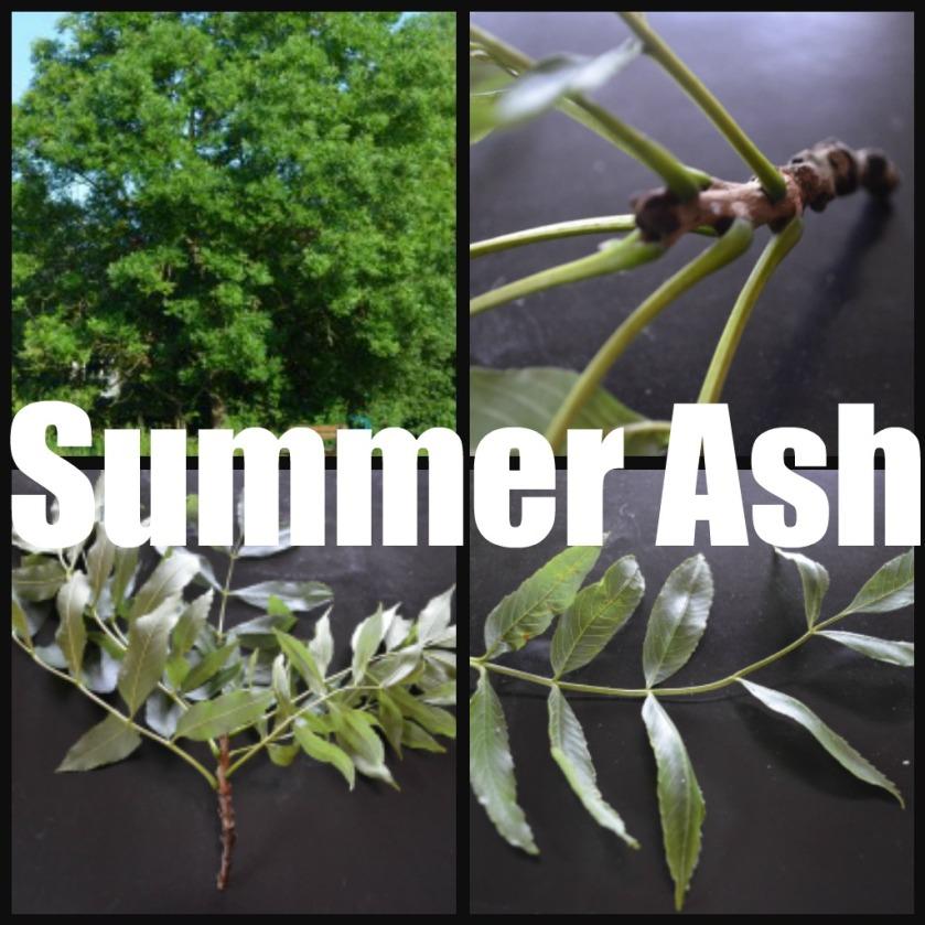 Ribbet collage sum ash
