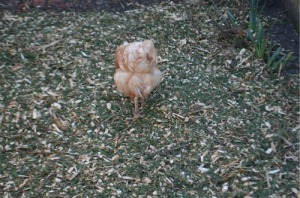 And the chicken joined in, turning it over and pecking to their hearts content.