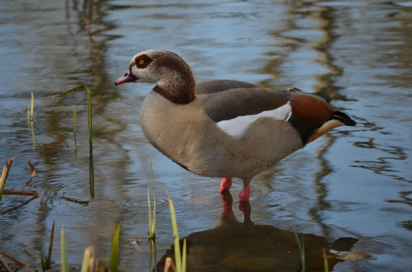 We saw new to us Egyptian geese with their florescent pink legs!