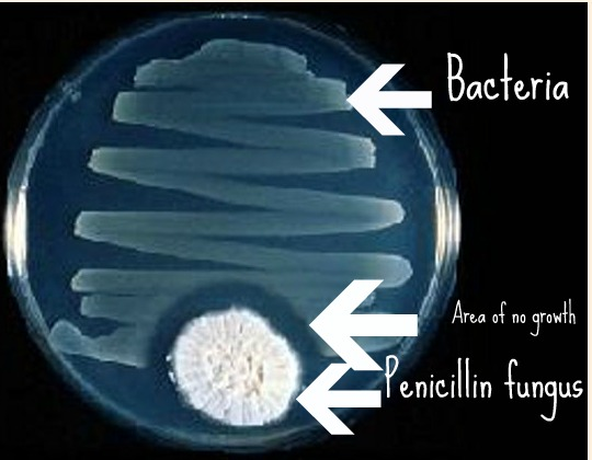 bacteria and penicillin Penicillin, as shown in this video, causes the cell walls of bacteria to rupture.