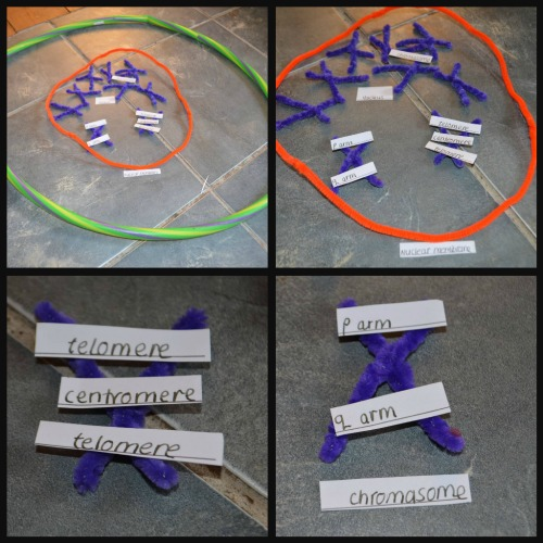 Ribbet collagechromosome2