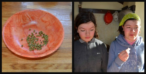 Tasting dried peas - not impressed (although I did tell them they would have been softened in some sort of stew or gravy