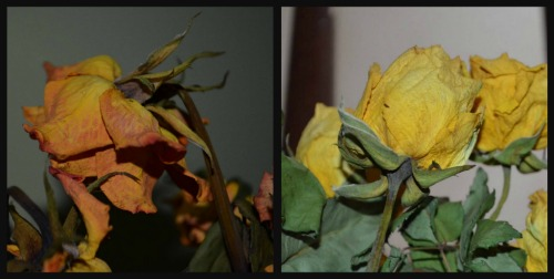 On the left are this weeks roses and on the right are roses from a couple of weeks ago