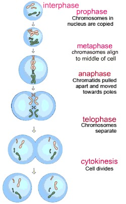 Genetics: Cell division – Mitosis – ANGELICSCALLIWAGS