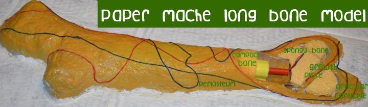 long bone model