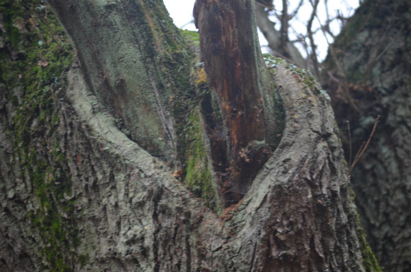 woodland-nature-study-veteran-oak-pollarding