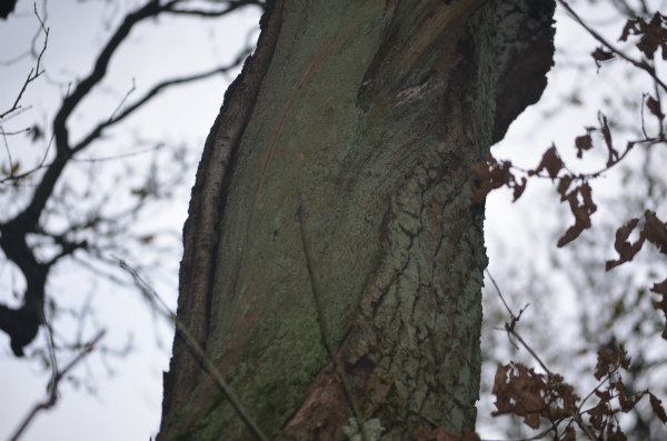 woodland-nature-study-veteran-oak-stripped-bark-trunk