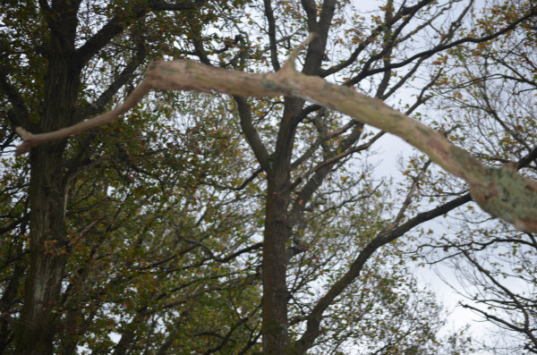 woodland-nature-study-veteran-oak-stripped-bark