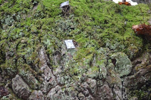 woodland-nature-study-veteran-oak-tagging