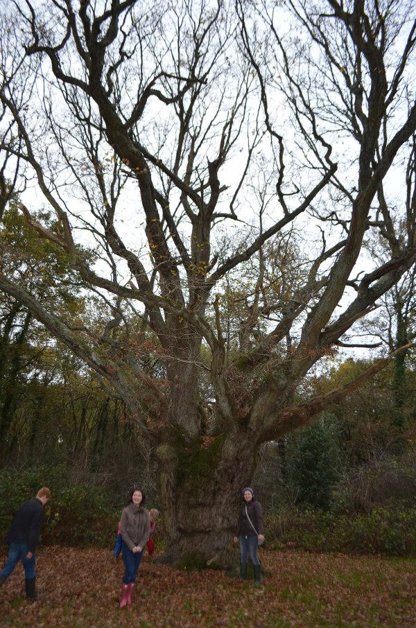 Woodland-nature-study-veteran-oak