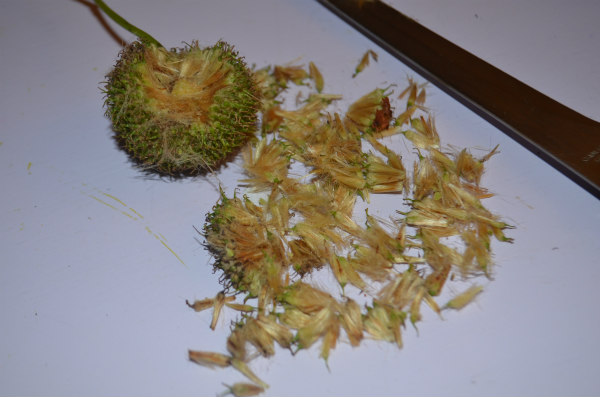 Flower-fairies-horse-chestnut-seed-exterior