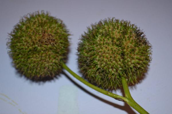 Flower-fairies-horsechestnut-seed