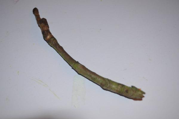 Flower-fairy-horsechestnut-buds