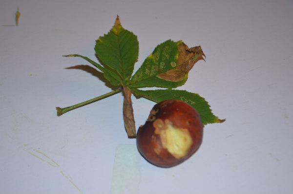 Flower-fairy-horsechestnut-nibbled-conker