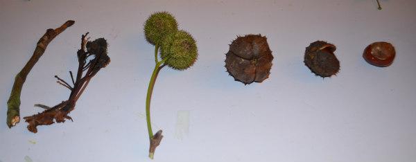 flower-fairy-horsechestnut-seeds